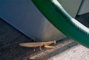 Albino praying mantis